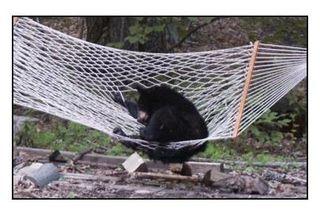 Bear_hammock