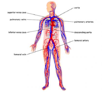 System_cardiovascular